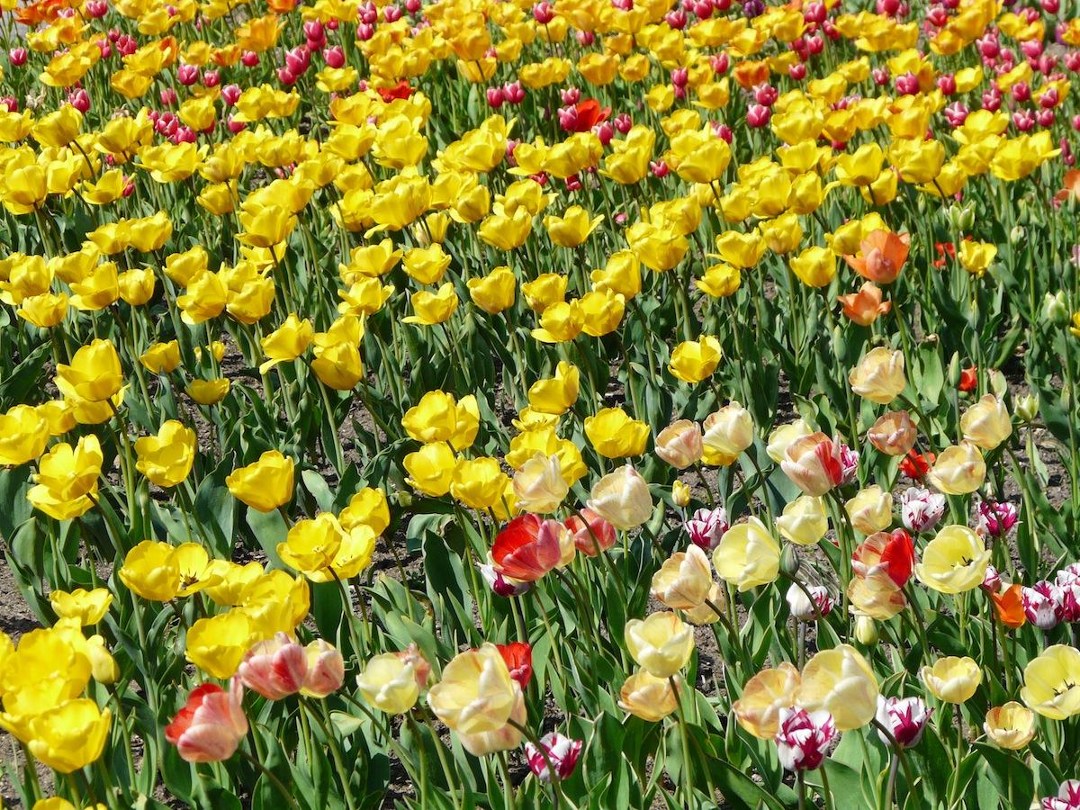 luhegaerten-tulpen.jpg